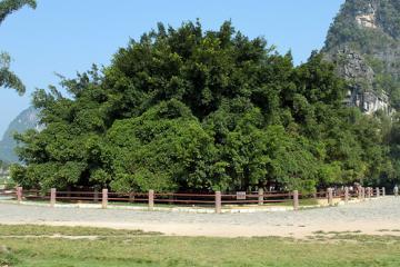 درخت انجیر کهن در گوئیلین - چین