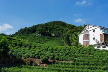 مزارع چای Longjing در هانگژو - چین